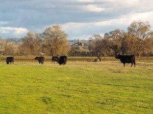 cows castle