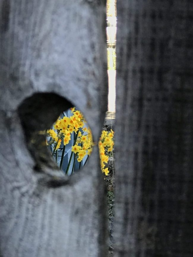 Yellow daffodils viewed through knothole in fence